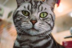 Close-up de um gato preto e branco bonito e irritado das cores em uma loja de animais de estimação que olha a câmera imagem de stock royalty free