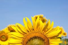Close up de um girassol Imagem de Stock