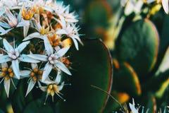 Close-up de um grupo das flores brancas do álbum do sedum fotografia de stock royalty free