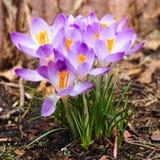 Close up de um grupo de flores roxas do açafrão Imagem de Stock Royalty Free