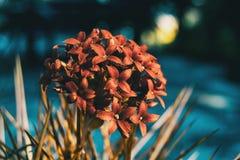 Close-up de um grupo de flores vermelhas do kalanchoe fotos de stock royalty free