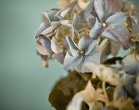 Close-up de um hydrangea azul no estilo retro imagens de stock royalty free