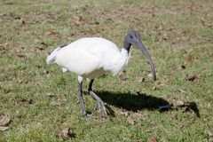 Close up de um Ibis branco australiano Fotografia de Stock