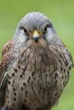 Close up de um kestrel Imagem de Stock Royalty Free