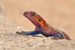 Close-up de um lagarto vermelho e azul do agamá Fotos de Stock