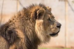Close-up de um leão africano masculino Imagens de Stock