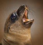 Close-up de um leão de mar novo de Califórnia, gritaria Imagens de Stock