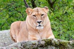 Close up de um leão fêmea Imagens de Stock Royalty Free