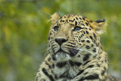Close-up de um leopardo 1 Foto de Stock Royalty Free