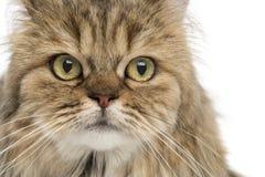 Close-up de um Longhair britânico, isolado Fotografia de Stock