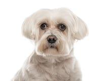 Close-up de um maltês branco, 10 anos velho, isolado Foto de Stock Royalty Free