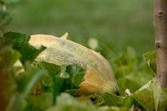 Close-up de um melão de Casaba perfeitamente maduro de Bidwell fotografia de stock