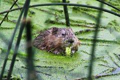 Close up de um muskrat que come juncos verdes Foto de Stock Royalty Free