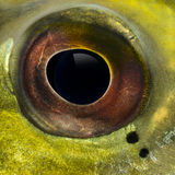 Close-up de um olho de peixe imagens de stock