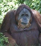 Close-up de um orangotango Fotos de Stock Royalty Free
