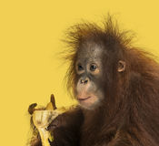 Close-up de um orangotango novo de Bornean que come uma banana, pygmaeus do Pongo Fotografia de Stock Royalty Free