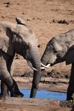 Close up de um par bonito do elefante em um waterhole em Addo Elephant Park em Colchester, África do Sul Foto de Stock