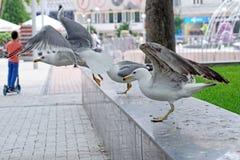 Close up de um par gaivotas em voo Foto de Stock