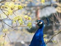 Close up de um pavão azul no jardim zoológico com ramos e ramos no fundo imagens de stock