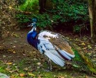 Close up de um pavão iridescente nas cores azuis, brancas, marrons e verdes, na cor e nas variações do pigmento, pássaro decorati imagem de stock royalty free