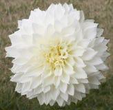 Close up de um Peony branco Fotografia de Stock