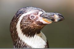 Close-up de um pinguim de Humboldt imagem de stock royalty free