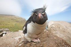 Close up de um pinguim em uma rocha Imagens de Stock Royalty Free