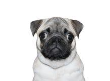 Close-up de um Pug na frente de um fundo branco Imagem de Stock
