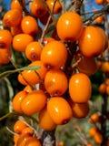 Close-up de um ramo com bagas do mar-espinheiro cerval Imagens de Stock