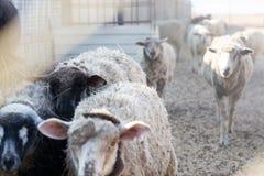 Close-up de um rebanho dos carneiros polvilhados com o feno na pena, foco seletivo foto de stock