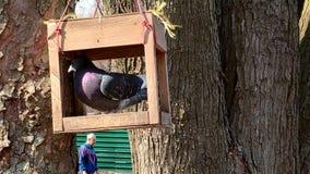 Close-up de um rebanho dos pombos que alimentam na grão dos alimentadores no parque na mola vídeos de arquivo