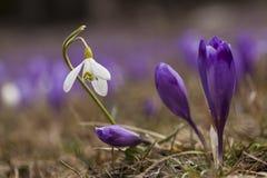 Close up de um Snowdrop em um campo dos açafrões Imagens de Stock