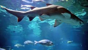 Close up de um tubarão no ambiente do aquário filme