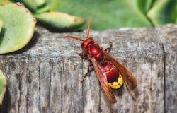 Close-up de um zangão oriental vermelho fotografia de stock