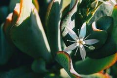 Close-up de uma única flor branca do álbum do sedum imagens de stock