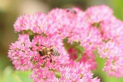 Close up de uma abelha em Fette Henne (Sedum spectabile) Imagem de Stock Royalty Free