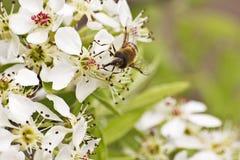 Close up da abelha Imagens de Stock Royalty Free