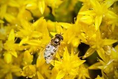 Close up de uma abelha pequena Foto de Stock