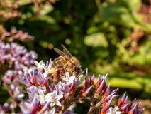 Close-up de uma abelha que forrageia nas flores fotos de stock royalty free