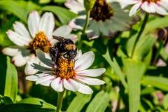 Close up de uma abelha tropeçar que alimenta no néctar das flores brancas Fotografia de Stock Royalty Free