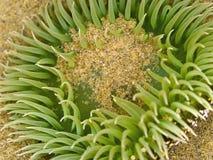 Close up de uma anêmona de mar Fotografia de Stock