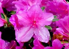 Close up de uma azálea cor-de-rosa Fotos de Stock Royalty Free