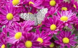Close-up de uma borboleta marrom que senta-se na flor cor-de-rosa Fotografia de Stock
