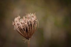 Close-up de uma cabeça da semente da cenoura selvagem Imagens de Stock