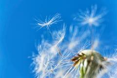 Close-up de uma cabeça de flor do dente-de-leão no vento foto de stock royalty free