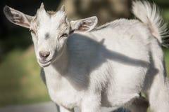 Close up de uma cabra fotografia de stock