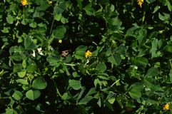 Close-up de uma Calif?rnia Burclover na flor, Burr Medic, Medicago Polymorpha, natureza, macro fotografia de stock royalty free