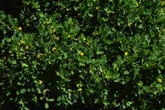 Close-up de uma Calif?rnia Burclover na flor, Burr Medic, Medicago Polymorpha, natureza, macro foto de stock royalty free