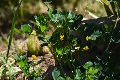 Close-up de uma Calif?rnia Burclover na flor, Burr Medic, Medicago Polymorpha, natureza, macro foto de stock