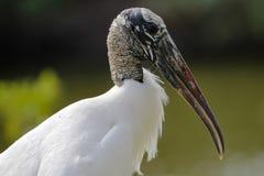 Close up de uma cegonha de madeira - Pinellas County, Florida foto de stock